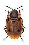 KA_111222_quadrimaculata / Dendroxena quadrimaculata
