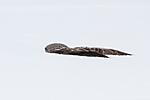 KA_120323_0714 / Strix nebulosa / Lappugle