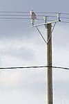 KA_120324_0828 / Bubo scandiacus / Snøugle