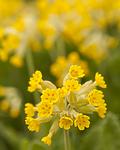KA_120508_2484 / Primula veris / Marianøkleblom