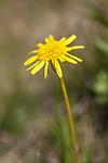 KA_120522_5222 / Scorzonera humilis / Griseblad