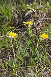 KA_120522_5224 / Scorzonera humilis / Griseblad