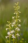 KA_120617_2840 / Platanthera montana / Grov nattfiol