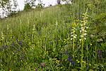 KA_120617_2842 / Platanthera montana / Grov nattfiol