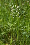 KA_120628_2642 / Platanthera montana / Grov nattfiol