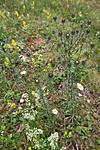 KA_120710_2900 / Carlina vulgaris / Stjernetistel <br /> Carlina vulgaris longifolia / Stor stjernetistel