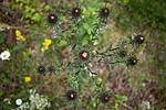 KA_120710_2909 / Carlina vulgaris / Stjernetistel <br /> Carlina vulgaris longifolia / Stor stjernetistel