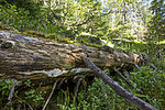 KA_120819_5159 / Picea abies / Gran <br /> Skeletocutis stellae / Taigakjuke