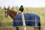 KA_120908_6050 / Corvus monedula / Kaie <br /> Equus caballus / Hest
