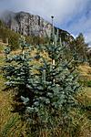KA_120918_3954 / Abies concolor / Koloradoedelgran