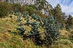 KA_120918_3959 / Abies concolor / Koloradoedelgran