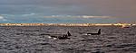 KA_130204_0162 / Orcinus orca / Spekkhogger