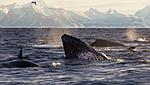 KA_130204_0275 / Megaptera novaeangliae / Knølhval <br /> Orcinus orca / Spekkhogger