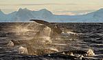 KA_130204_0304 / Megaptera novaeangliae / Knølhval <br /> Orcinus orca / Spekkhogger