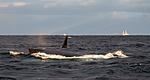 KA_130204_0354 / Megaptera novaeangliae / Knølhval <br /> Orcinus orca / Spekkhogger