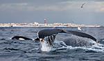KA_130204_0413 / Megaptera novaeangliae / Knølhval <br /> Orcinus orca / Spekkhogger