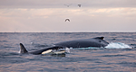 KA_130204_0497 / Megaptera novaeangliae / Knølhval <br /> Orcinus orca / Spekkhogger
