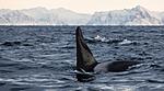 KA_130204_0512 / Orcinus orca / Spekkhogger