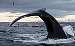 KA_130204_0556 / Megaptera novaeangliae / Knølhval <br /> Orcinus orca / Spekkhogger