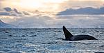 KA_130204_0579 / Orcinus orca / Spekkhogger