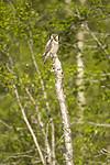 KA_130603_6741 / Surnia ulula / Haukugle