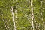 KA_130603_6744 / Surnia ulula / Haukugle