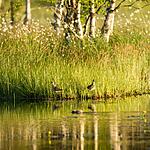KA_130611_1538 / Larus canus / Fiskemåke <br /> Tringa ochropus / Skogsnipe