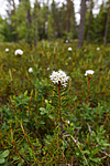 KA_130612_2485 / Rhododendron tomentosum / Finnmarkspors