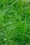 KA_130614_2599 / Carex disperma / Veikstarr