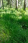 KA_130614_2601 / Carex disperma / Veikstarr