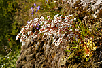 KA_130722_2072 / Saxifraga cotyledon / Bergfrue