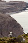 KA_130817_3619 / Vulpes lagopus / Fjellrev