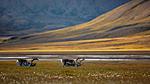 KA_130818_3979 / Rangifer tarandus / Rein