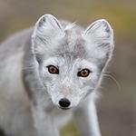 KA_130819_4397 / Vulpes lagopus / Fjellrev