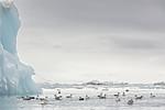 KA_140610_2127 / Fulmarus glacialis / Havhest