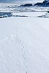 KA_140612_3903 / Ursus maritimus / Isbjørn
