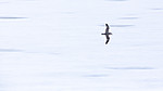 KA_140614_4576 / Fulmarus glacialis / Havhest
