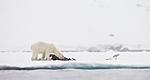 KA_140614_4657 / Larus hyperboreus / Polarmåke <br /> Ursus maritimus / Isbjørn