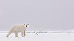 KA_140614_4678 / Larus hyperboreus / Polarmåke <br /> Ursus maritimus / Isbjørn