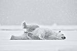 KA_140614_4683_sh / Ursus maritimus / Isbjørn