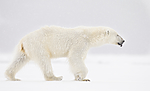 KA_140614_4693 / Ursus maritimus / Isbjørn