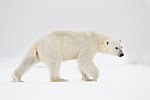 KA_140614_4700 / Ursus maritimus / Isbjørn