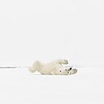 KA_140614_4715 / Ursus maritimus / Isbjørn