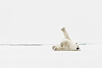 KA_140614_4722 / Ursus maritimus / Isbjørn