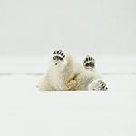 KA_140614_4736 / Ursus maritimus / Isbjørn