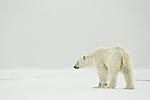 KA_140614_4738 / Ursus maritimus / Isbjørn