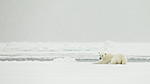 KA_140614_4739 / Ursus maritimus / Isbjørn