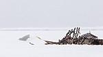 KA_140614_4752 / Larus hyperboreus / Polarmåke