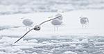 KA_140614_4764 / Fulmarus glacialis / Havhest <br /> Larus hyperboreus / Polarmåke