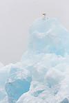 KA_140614_4819 / Larus hyperboreus / Polarmåke